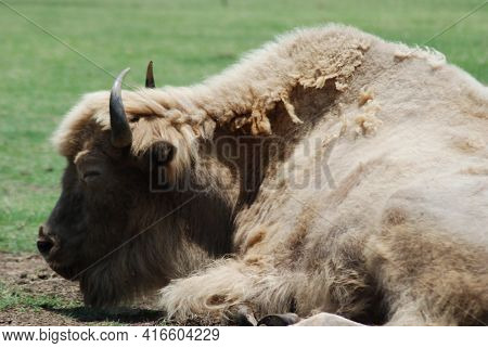 White Buffalo. The American Bison Or Simply Bison (bison Bison), Also Commonly Known As The American