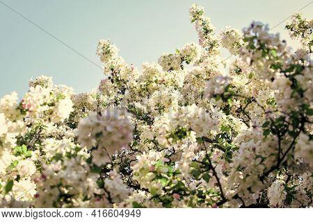 Tender Flowers Blue Sky Background. Floral Backdrop. Spring Allergy. Botany And Gardening Apple Tree