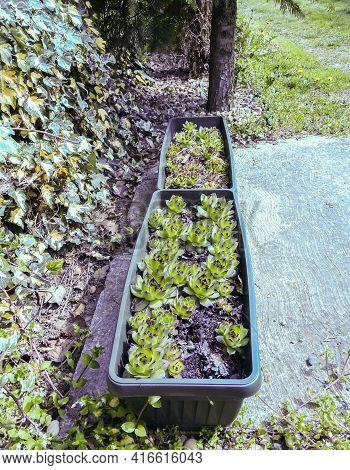 Common Houseleek Grows And Multiplies In Green Long Flowerpots