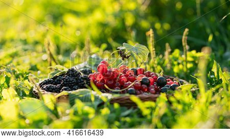 A Mixture Of Garden Berries: Red Currants, Black Currants And Blackberries In A Wicker Basket On Gre
