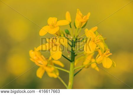 Oilseed Rape Crop In A Field. Single Plant With Yellow Flowers In Summer In The Sunshine. Details Of