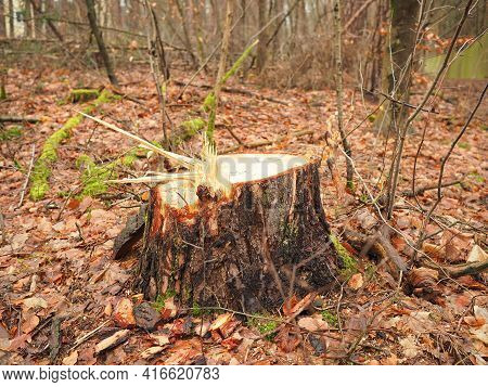 Stump Of A Fresh Cut Timber Log In A Forest,  Background Germany 2021