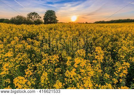 Sunset With Rapeseed Field. Yellow Flowers Of The Crop In The Foreground. Green Trees In The Evening