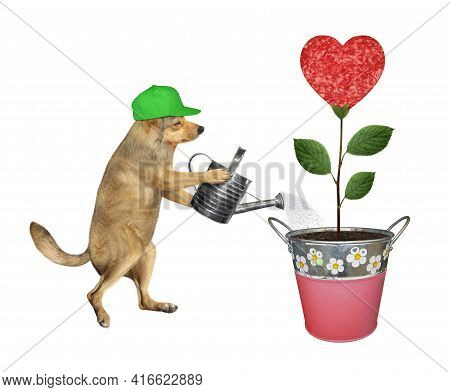 A Beige Dog Gardener In Green Cap Is Watering A Sausage Flower That Growing In A Metal Pail. White B
