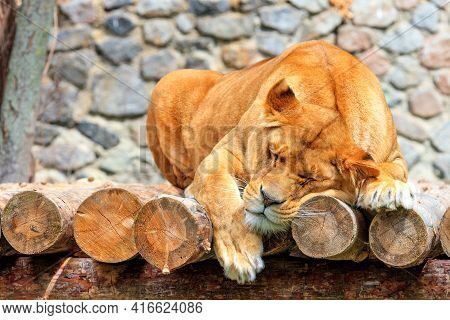 A Large Lioness Sleeps Peacefully On A Platform Made Of Wooden Logs Against A Blurred Background Of