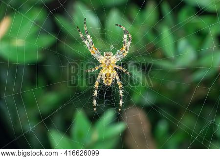 Large Orb Weaver Spider On Its Web In A Garden, Close Up