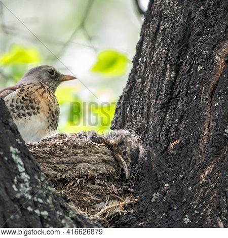 Thrush Fieldfare, Turdus Pilaris, In A Nest With Chicks
