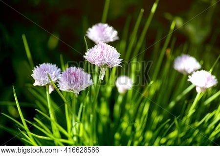 A Clump Of Flowering Chives In Nature. Close-up
