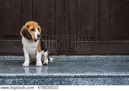 Beagle Personality, Temperament. Beagle Puppy At Home. Little Beagle Breed Dog At His New Home.