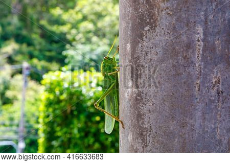 A Large Green Locust Has Jumped Onto A Pole And Sits Motionless.
