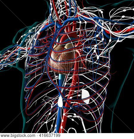Human Heart With Circulatory System Anatomy For Medical Concept 3D Rendering