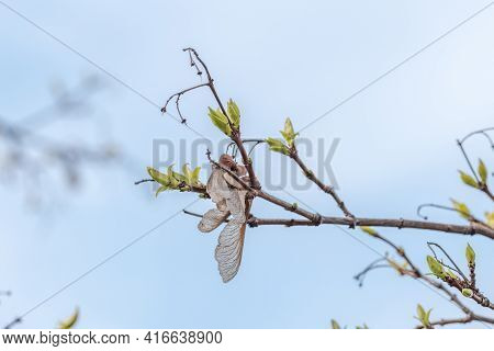 Acer Platanoides Twig And Buds With Dried Fruit (samara).