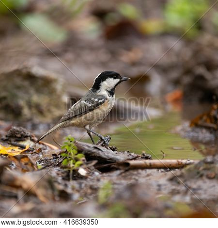 The Coal Tit Periparus Ater Is A Passerine Bird In The Tit Family, Paridae.