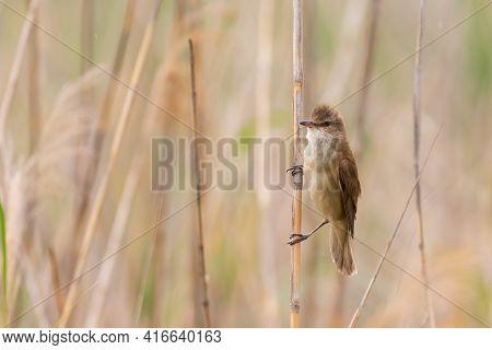 Great Reed Warbler Acrocephalus Arundinaceus In A Natural Habitat.