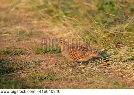 Grey Partridge, Perdix Perdix, Single Bird On Grass.