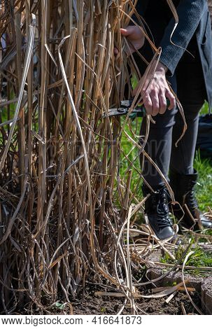 Pruning With Pruning Shears Of Last Years Grass Stalks. Spring Gardening. Female Hands Cut Dry Plant