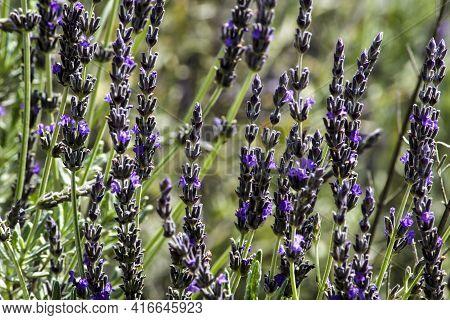 Lavandula Angustifolia Plant In The Garden In Spring