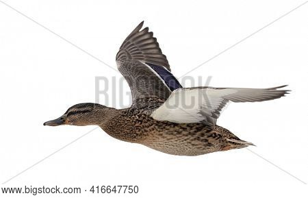 flying mallard duck isolated on white background