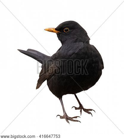 Common blackbird isolated on white background