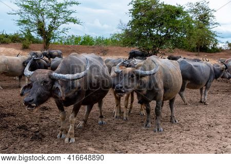 Group Of Water Buffalo (thai Buffalo) At Countryside In Southern Of Thailand. A Picture Of A  Group