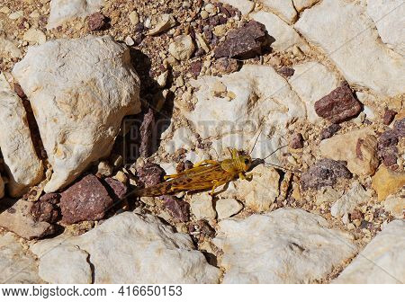 Schistocerca Gregaria The Desert Locust On The Rocks