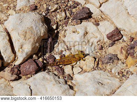 Schistocerca Gregaria The Desert Locust On The Rocks