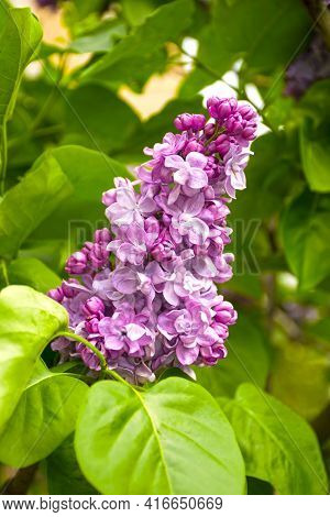 Pink Branch Of A Blossoming Lilac On A Green Background. Fresh Lilac On A Background Of Nature. Lila