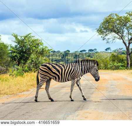 Savannah zebra crosses a narrow road in the park. Animals live and move freely in the  savannah. South Africa. The famous Kruger Park. The concept of exotic and photo tourism