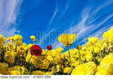 Lush yellow garden buttercups ranunculus in a kibbutz field with a magnificent carpet. Sea of flowers. Spring in Israel. Wonderful trip for spring beauty