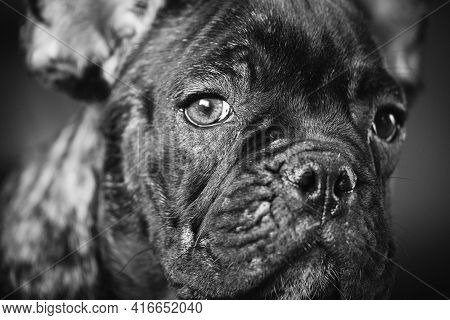 Close Up Portrait Of Young Black French Bulldog Dog Puppy. Funny Dog Baby With Beautiful Black Snout