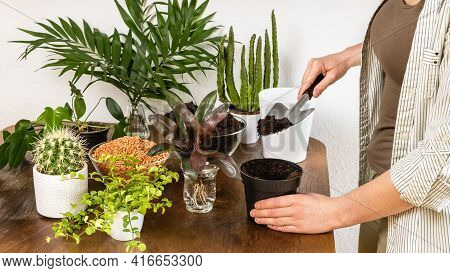 Young Woman Gardener Hands Plant Cordyline Fruticosa Palm With Roots In Flowerpot With Fertile Soil