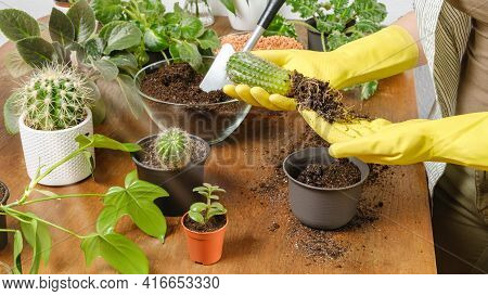 Woman Gardener Hands In Yellow Gloves Plant Cactus Into New Flowerpot With Fertile Soil On Wooden Ta
