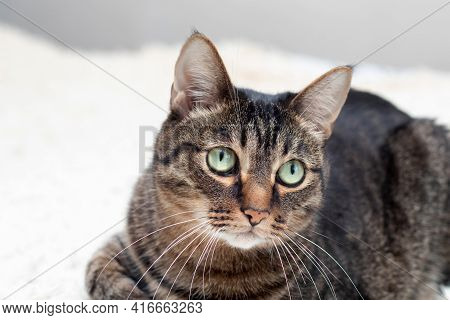 A Large Cat Of Amazing Beauty. A Tabby Cat With A Surprised Look Is Resting On A Diva. Cat With Tass