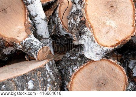 Felled Birch. Birch Stump Pruning. Chocks Of Birch Tree
