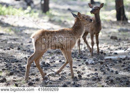 Nature. Deer Fawn. Bambi. White-tailed Young Roe Deer, Capreolus. Beautiful Wildlife Buck