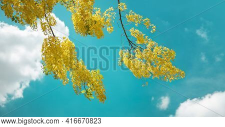 Cassia Fistula Or Golden Shower, Purging Cassia, Indian Laburnum, Or Pudding-pipe Tree. Southeast As