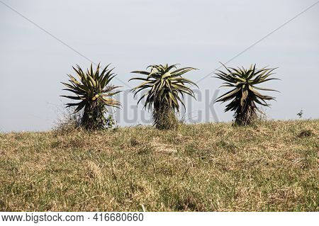 Three Aloes Growing On Dry Grassy Ridge