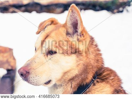 Close Up Of A Yellow And Orange Alaskan Husky Sled Dog Resting In The Kennel.