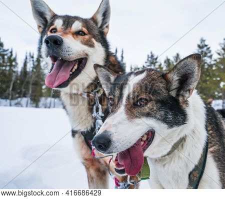 Happy Sled Dogs On A Cold Winters Day.