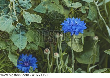 Blue Flowers Cornflower On A Background Of Green Leaves. Spring, Summer And Bloom Concept