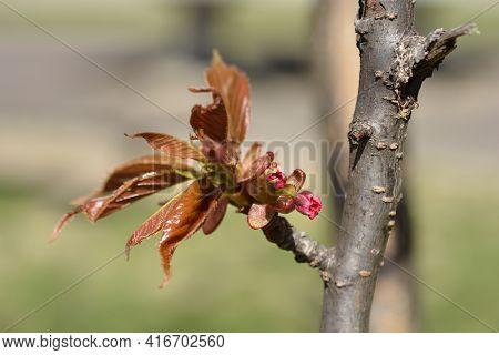 Japanese Flowering Cherry Kanzan - Latin Name - Prunus Serrulata Kanzan