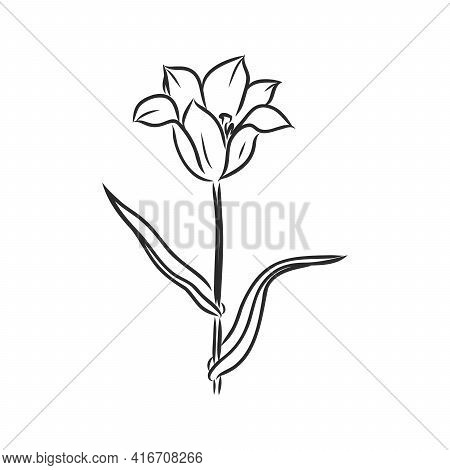 Hand Drawn Tulips. Vector Tulip Vector Sketch On A White Background