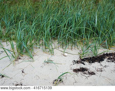 Lyme Grass Leymus Arenarius In The Sand Of A Beach Sea Shore Dune By The Baltic Sea