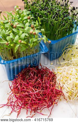 Young Sprouts Plants Of Chives Onion, Coriander, Red Beet, Alfalfa, Leek Ready For Consumption