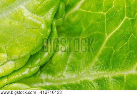Plant Louse On Green Lettuce Leaf. Green Aphid, Sap-sucking On Fresh Romaine Lettuce Leaf. Greenfly,