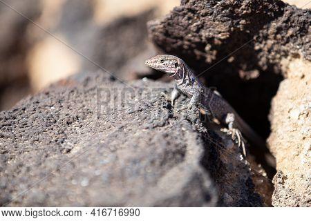 Southern Tenerife Lizard Basking On Volcanic Stone