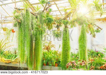 House Plant, Tillandsia Is A Species In Nursery Farm, Greenhouse Decorate In Garden