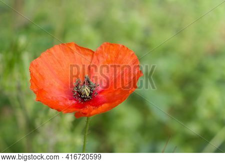 Close Up Of Poppy Flower Or Papaver Rhoeas Poppy On Blooming Wild Flowers In Meadow Background. Spri