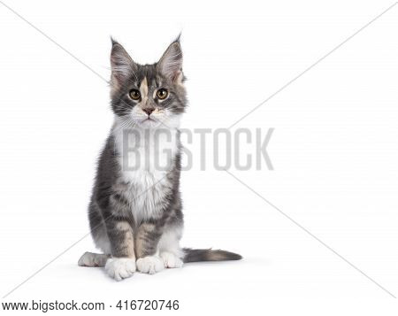 Cute Tortie Maine Coon Cat Kitten, Leaning Towards Camera Over Edge. Looking Curious To Camera. Isol