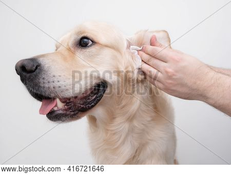 The Man Is Cleaning The Dog's Ears. Male Hands Wipe The Dirt With A Golden Retriever Napkin. Isolate